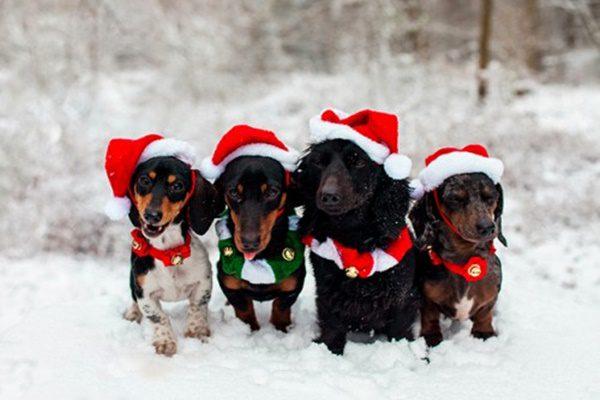 fotos-de-las-mascotas-para-felicitar-las-navidades-11-500x333