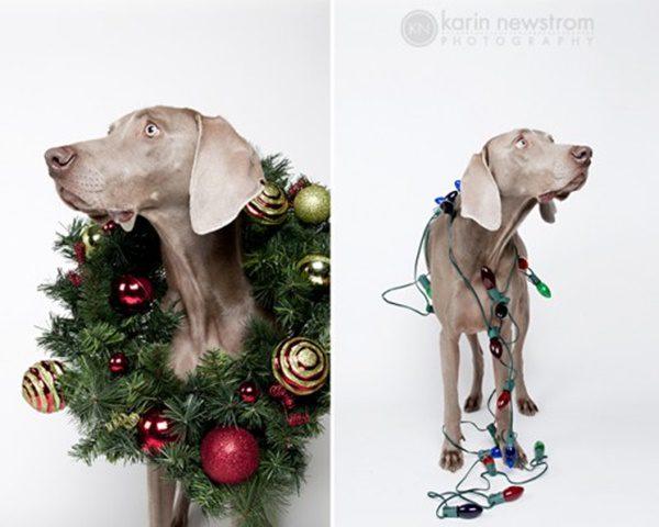 fotos-de-las-mascotas-para-felicitar-las-navidades-3-500x400
